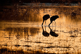 Photo: Two sandhill cranes feeding as the sun sets