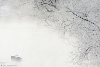 Photo: A Whooper Swan wakes in the morning mist, between two still sleeping swans.