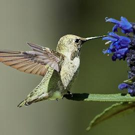 HummerFun ~ 99551~Q by Raphael RaCcoon - Animals Birds