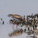 Redshank; Archibebe Común