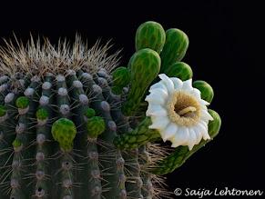 Photo: A good Monday morning to you!!  Saija Lehtonen Photography  #Cactus #Saguaro #Nature #Southwest #Arizona #Flowers #Floral #Photography