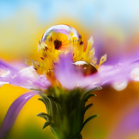 Vanity flower by Alberto Ghizzi Panizza - Nature Up Close Flowers - 2011-2013 ( dew, drop, colors, daisy, sphere, flower, petal, nature, flowers,  )