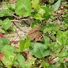 Junonia lemonias 蛇眼蛺蝶