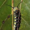 Monarch (caterpillar)