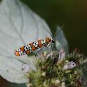 Ailanthus Webworm Moths