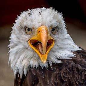 Against the wind by Jürgen Sprengart - Animals Birds ( eagle, bald eagle, weißkopfseeadler )