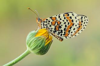 Photo: Melitaea Didyma, Mélitée Orangée, Spotted Fritillary  http://lepidoptera-butterflies.blogspot.com/