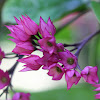 Clerodendron - Bleeding-heart.