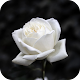 White rose Download on Windows