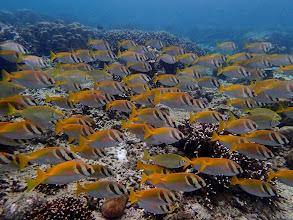 Photo: Siganus virgatus (Virgate Rabbifish), Miniloc Island Resort reef, Palawan, Philippines.