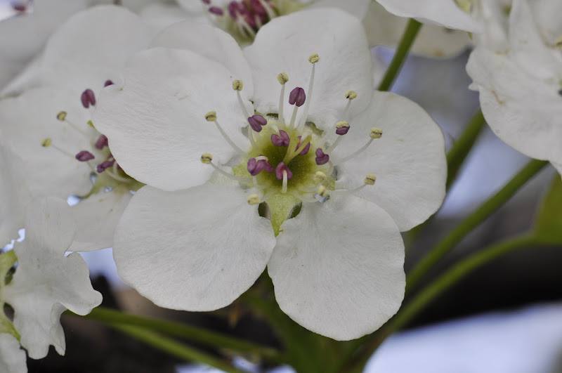Photo: Pear blossom for #floralfriday. Shot with an old 55mm f2.8 Micro-Nikkor