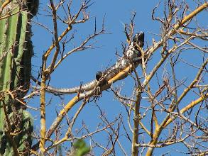Photo: A black iguana.