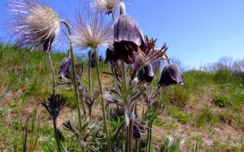 Photo: A fekete kökörcsin és tollas, aszag csokor termése