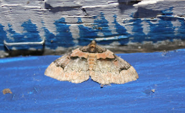 Photo: Catarhoe rubidata   Lepidoptera > Geometridae