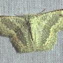Wattle Bizarre Looper Moth (Male)