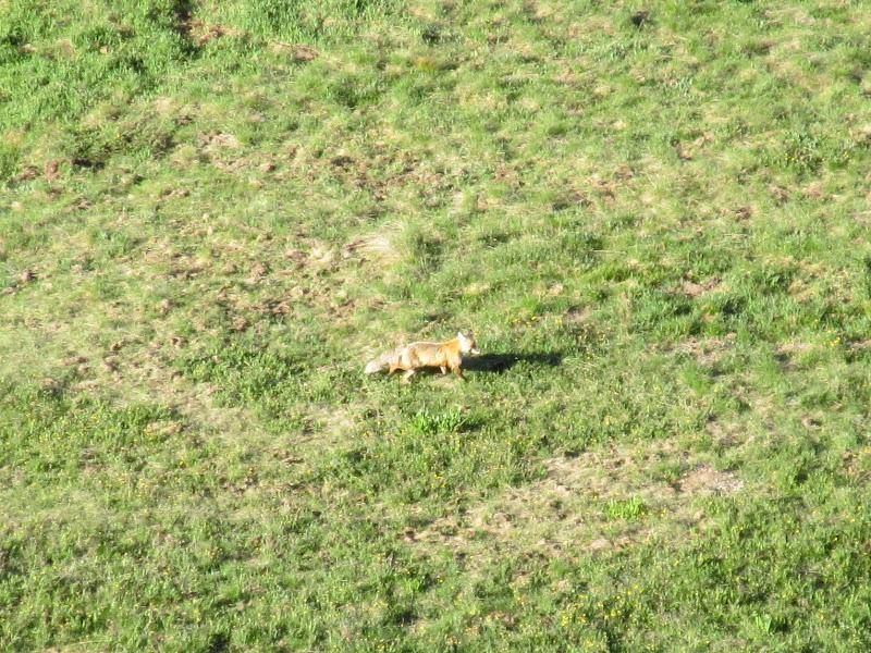 Photo: Fox along Nellie Creek