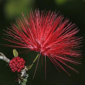 Flower by Paramasivam Tharumalingam - Flowers Single Flower (  )