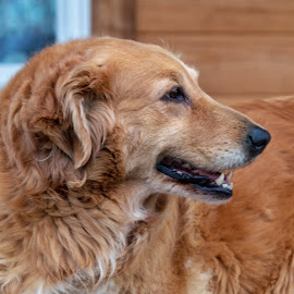 Golden by Margie Troyer - Animals - Dogs Portraits