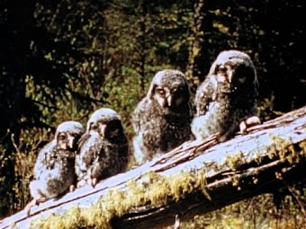 Owls: Lords of Darkness