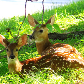 Neighborhood Fawns by Erika  Kiley - Novices Only Wildlife ( spots, babies, summer, fawn, deer )