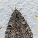 Blue underwing or Clifden nonpareil / Орденская лента голубая