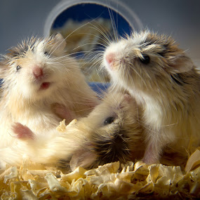 let's play by Andreas Tan - Animals Other Mammals ( playful, pets, play, hamster, cute )