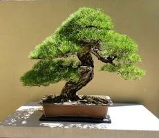 盆栽の木のアイデアのおすすめ画像1