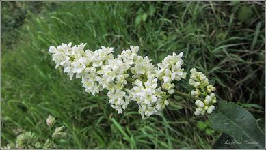 Photo: Lemn câinesc (Ligustrum vulgare) si (Ligustrum jonadrum forma luce)  - din Turda, Str. Rapsodiei, Nr.3 - 2018.05.18