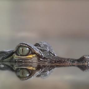 by Michael Milfeit - Animals Reptiles ( hechtalligator ·, mississippi-alligator, nebulas, alligator mississippiensis, alligator )