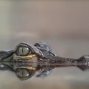Mississippi-Alligator -Alligator mississippiensis - Hechtalligator 3805.jpg