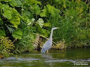 Photo: Grey Heron, River Don, Tillydrone, Aberdeen