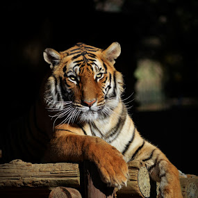 Tiger by Christil-Photography Bloemfontein - Animals Lions, Tigers & Big Cats ( tiger, dark, bengal )