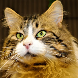 Milo by Linda    L Tatler - Animals - Cats Portraits (  )