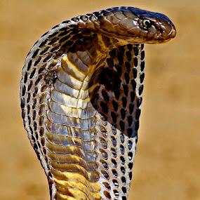 King Cobra by Bob Khan - Animals Reptiles (  )