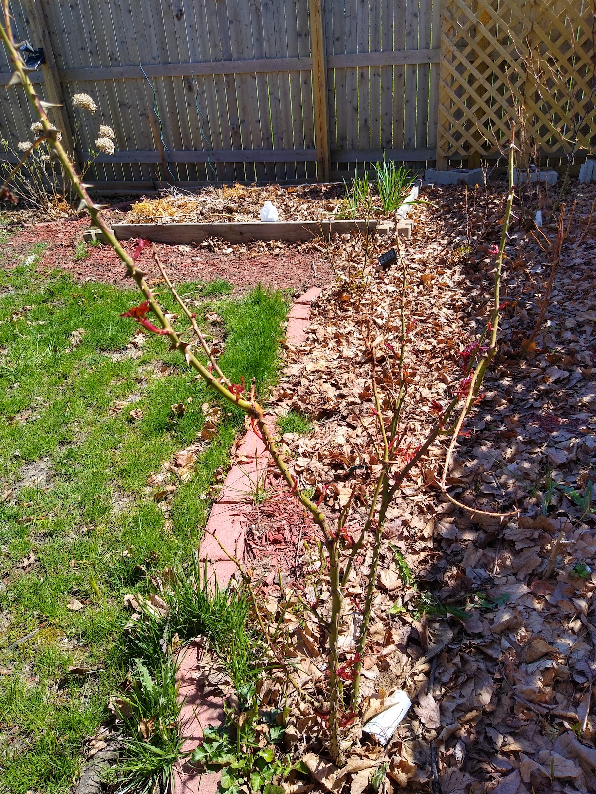 before rose pruning picture