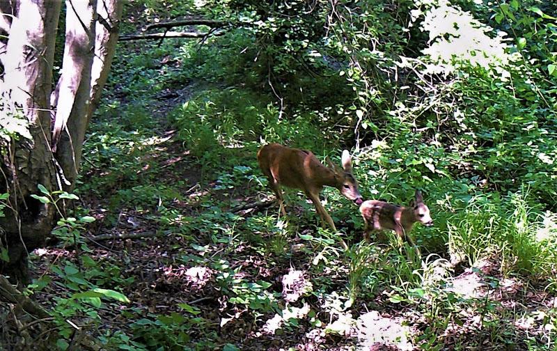 Capriolo mamma e il suo cucciolo di nestowolf