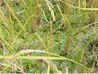 Photo: Shochum weed growing in a farmer's rice field in Bhutan.   [Photo courtesy of Kharma Lhendup, Bhutan, 2008]