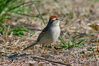 Photo: #BirdPoker: Sparrows curated by +Phil Armishaw  Chipping sparrow 'raising' his cap feathers.