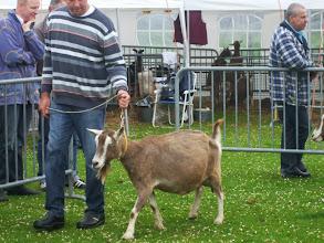 Photo: Klasse 7: 4,5 en 9 jarige toggenburger geiten.  1a. Sarie 146 ( 9 jaar).