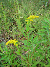 Photo: Canada Goldenrod, 9.13