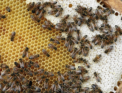Bees are seen on a frame of a beehive in Denee, Belgium. Picture: REUTERS