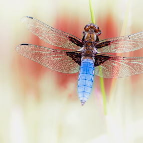 Dragonfly by Jens Klappenecker-Dircks - Digital Art Animals ( poster, red and blue, germany, dragonfly )