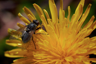 Photo: Dandy pollen I encourage look at this image at full size, so you can see the flecks of pollen covering the fly's wings and legs.  #365project curated by +Susan Porter and +Simon Kitcher
