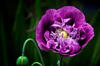 """Photo: And ......my purple poppies opened today! :D  """"the free soul is rare, but you know it when you see it - basically because you feel good, very good, when you are near or with them."""" ― Charles Bukowski   http://www.redbubble.com/people/inspiraimage/works/15645458-pretty-purple-poppy-flower   +ColorsOnFriday curated by +Karsten Meyer +Britta Rogge #ColorsOnFriday  +FeelGoodFriday curated by +Rebecca Borg +Jason Borg #FeelGoodFriday  +FloralFriday curated by +Tamara Pruessner +Beth Akerman +Eustace James +Kiki Nelson #floralfriday  +FlowerFriday curated by +Angie Davila +//flower colors// curated by +angelic labru #flowercolors  +Daily Depth Of Field curated by +Vince Ong +Nuraini Ghaifullah +f.a. fiebig #DailyDepthOfField  +EVERYDAY THINGS curated by +luca lancieri +FLOWER POWER curated by +Edith Kukla #flowerpower  +HQSP Flowers curated by +Anja Wessels +kaatje jansen +Melania Pierce +Kanlaya Chungsangornpornsuk +Wayne Lu +Iva Pas #hqspflowers  +NATURE & MACRO Photos curated by +Robert SKREINER +Roswitha Böhmer #naturephotos  +Poppy Pics curated by +Rosie Nixon #poppypics  +PurpleCircle curated by +Lynn Langmade +Sinead Sam McKeown +Craig Szymanski +Alexis Coram #PurpleCircle  +Summer Photos curated by +Tiina Niskanen +Andreas Helbig #summerphotos  #PhotoManiaUK +Photo Mania UK curated by +Hans-Juergen Werner and +Chandro Ji #poppy  #purple  #purplepoppy  #poppies"""