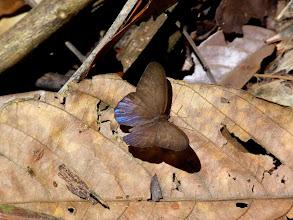 Photo: BLUE SATYR--choreuptychia arnaca--APUYA TRAIL