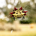Spinybacked Orbweaver Spider