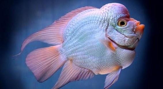 Ikan Louhan - náhled