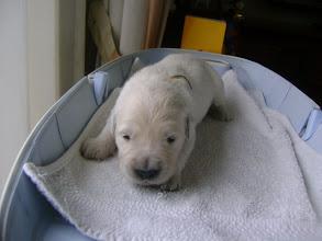 Photo: 7 april, pup geel op de weegschaal
