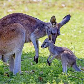 Kangaroos by Dawn Hoehn Hagler - Animals Other Mammals ( arizona, litchfield park, kangaroo, zoo, baby animal, wildlife world zoo )