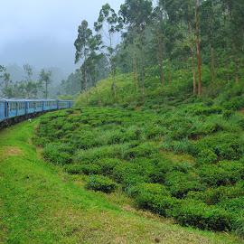 Tea plantation train by Tomasz Budziak - Transportation Railway Tracks ( asia, train, transportation,  )
